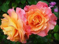 Fleurs DEVILLARD